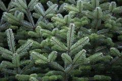 Fine dell'albero di abete sulla vista Fotografia Stock