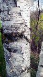 Fine dell'albero di betulla su in legno Fotografia Stock