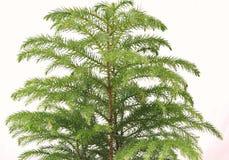 Fine dell'albero di pino della Norfolk in su Fotografie Stock