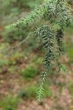 Fine dell'albero di pino in su Fotografie Stock