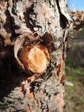 Fine dell'albero di pino in su Fotografie Stock Libere da Diritti