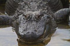 Fine dell'alligatore di Florida su Immagini Stock Libere da Diritti
