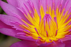 Fine dell'antera di Lotus su immagine stock libera da diritti