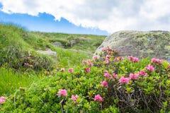 Fine dell'arbusto del rododendro su Immagini Stock Libere da Diritti