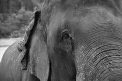Fine dell'elefante asiatico sulla foto fotografie stock