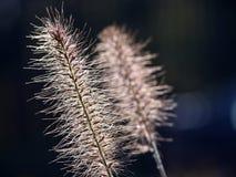 Fine dell'erba di coda di volpe della palude del Pennisetum su Fotografie Stock