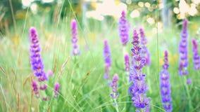 Fine dell'erba di Salvia su stock footage