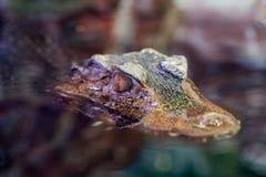 Fine dell'occhio del caimano dell'alligatore del coccodrillo su Immagine Stock
