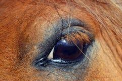 Fine dell'occhio del cavallino della castagna sul ritratto Fotografia Stock