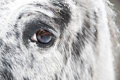 Fine dell'occhio del cavallo bianco in su Fotografia Stock
