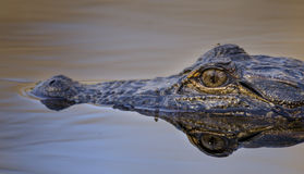 Fine dell'occhio dell'alligatore americano su, riserva del cittadino della palude di Okefenokee Fotografia Stock Libera da Diritti