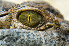 Fine dell'occhio dell'alligatore del coccodrillo su Fotografia Stock Libera da Diritti