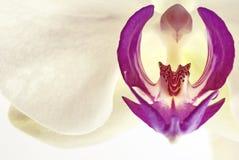 Fine dell'orchidea di Phalaenopsis in su Fotografie Stock