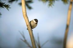 Fine dell'uccello del capezzolo su che si siede sul ramo Immagini Stock Libere da Diritti