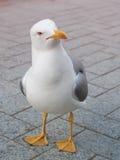 Fine dell'uccello del gabbiano sul ritratto fotografia stock libera da diritti