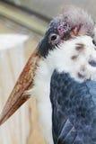 Fine dell'uccello del marabù sulla foto Fotografia Stock Libera da Diritti