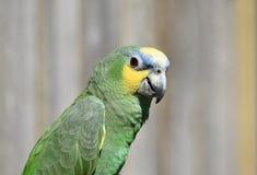 Fine dell'uccello del pappagallo di verde di Amazon su fotografia stock