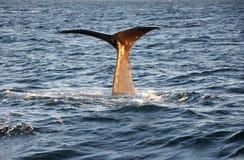 Fine della balena della coda su, la Norvegia Immagine Stock