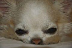 fine della chihuahua dei A lungo capelli su Fotografia Stock