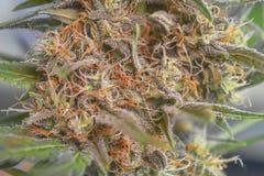 Fine della cola della cannabis su fotografia stock
