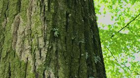 Fine della corteccia di albero su Giorno luminoso soleggiato stock footage