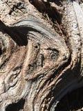 Fine della corteccia di albero su, supporto Shasta, CA Fotografia Stock Libera da Diritti