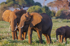 Fine della famiglia degli elefanti su kenya Fotografia Stock Libera da Diritti