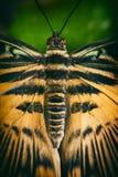 Fine della farfalla di coda di rondine della tigre su Immagine Stock
