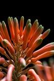 Fine della fioritura dell'aloe su Fotografie Stock