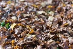 Fine della foglia di autunno su marrone di vista caduto dall'albero Immagine Stock