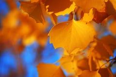 Fine della foglia di diversifolia del Populus su Fotografia Stock