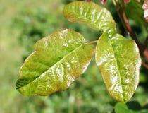 Fine della foglia della quercia di veleno su alta qualità Fotografia Stock
