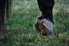 Fine della gamba posteriore dello zoccolo del cavallo su Fotografia Stock