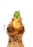 Fine della lampadina del giacinto in su Fotografie Stock Libere da Diritti