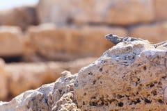 Fine della lucertola del deserto sul ritratto sui muretti a secchi caldi in archaeologi fotografia stock