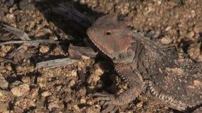 Fine della lucertola del rospo cornuto dell'Arizona su stock footage