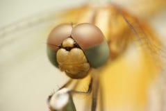 Fine della mosca del drago in su fotografia stock libera da diritti