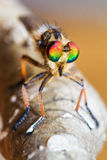 Fine della mosca di ladro su Fotografie Stock Libere da Diritti