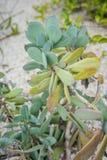 Fine della pianta del cactus di asteraceae di crassissimus del senecio sulla vista della foglia con il pavimento della sabbia Immagini Stock Libere da Diritti