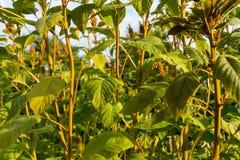 Fine della pianta del grano sulla vista in giardino che coltiva agricoltura Fotografia Stock Libera da Diritti