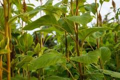 Fine della pianta del grano sulla vista in giardino che coltiva agricoltura Immagini Stock Libere da Diritti