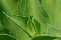 Fine della pianta dell'agave su Immagine Stock