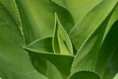 Fine della pianta dell'agave su Fotografia Stock Libera da Diritti