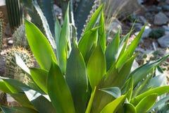 Fine della pianta dell'agave su Immagine Stock Libera da Diritti