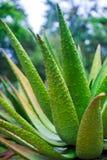 Fine della pianta dell'aloe su Fotografia Stock Libera da Diritti