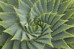 Fine della pianta di Aloë Vera su Fotografia Stock
