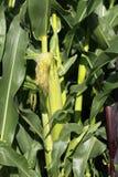 Fine della pianta di cereale in su Fotografia Stock