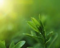 Fine della piantagione di tè su priorità bassa Fotografie Stock Libere da Diritti