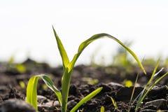 Fine della piantina del cereale su in un campo Fotografia Stock Libera da Diritti