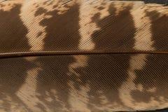 Fine della piuma del fagiano di Brown su Fotografie Stock